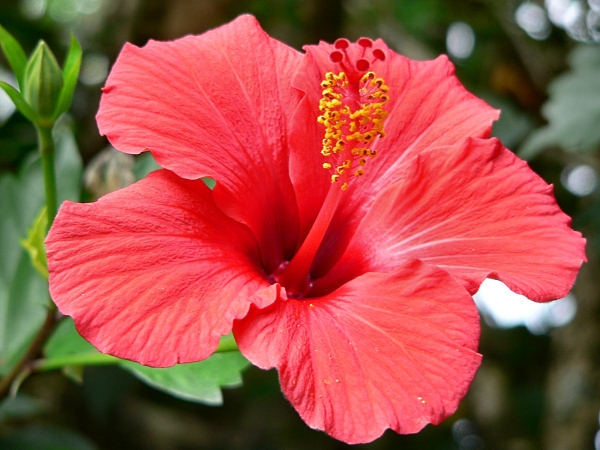 Hibiscus may improve weight control