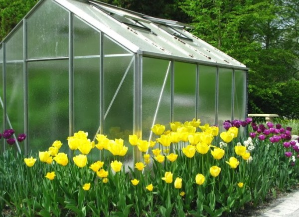 Tulips with Greenhouse