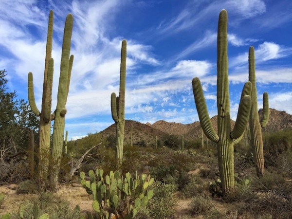Saguaro Cactus Laws In Arizona