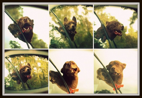 So Why Do Dogs REALLY Enjoy Car Rides With Their Head Out The Window