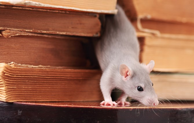 Common Rodents Found At Home Lci Mag