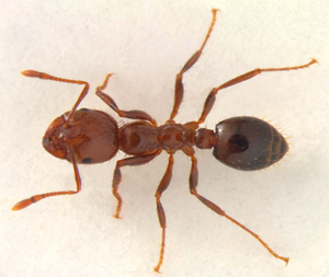 Everything You Need To Know About Fire Ants