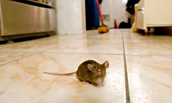 Rat Problems Are Getting Worse In London