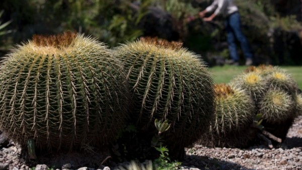 Dangers Of A Dying Cactus