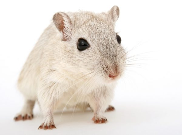 Can You Tell Your Rats From Your Mice?